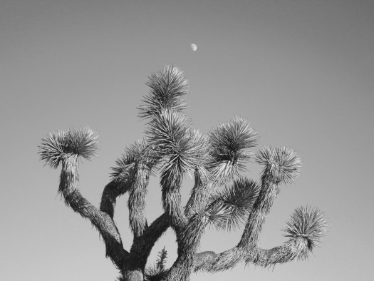 A black and white photograph of a Joshua tree with the moon overhead.
