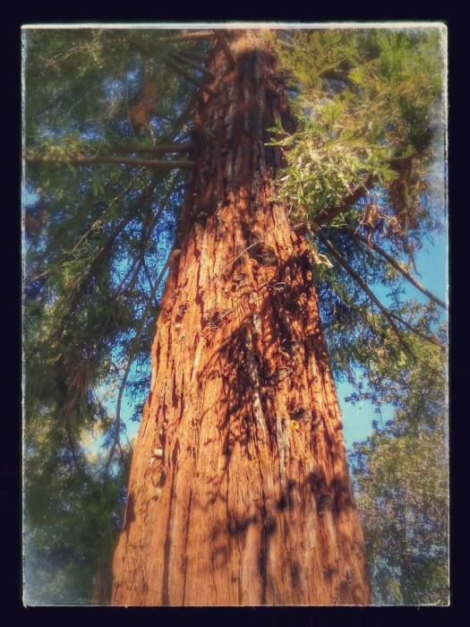 Cedar tree in the park with a few cool effects.