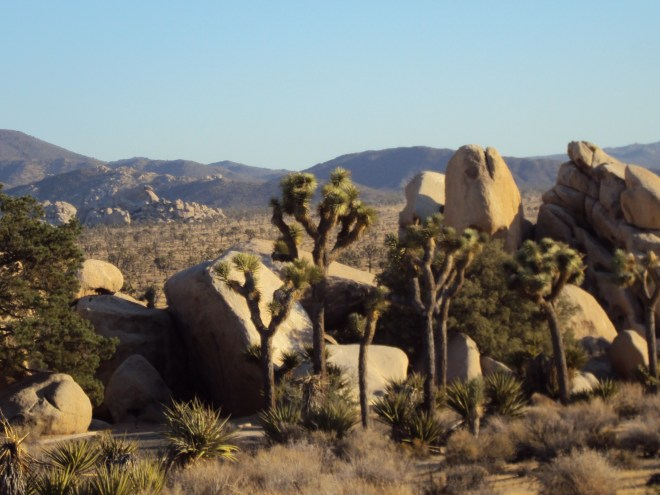 The Joshua trees in this cluster almost look like a group of tourists taking pictures.