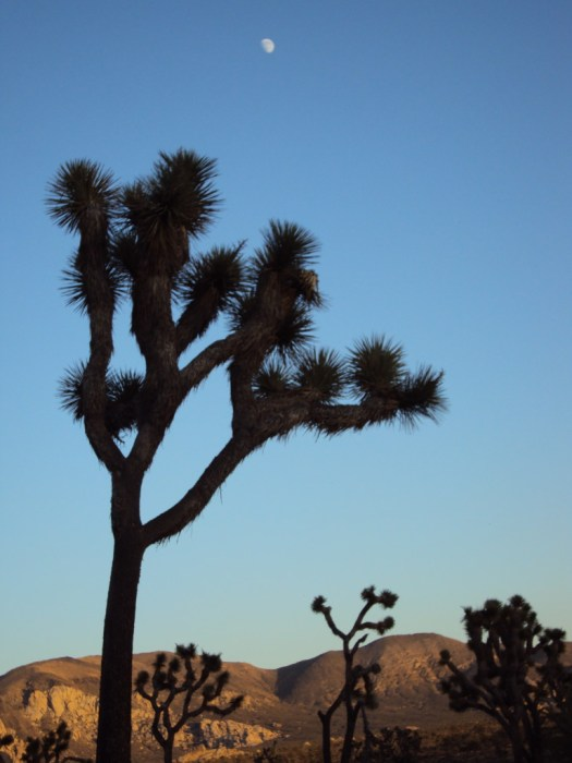 A stately Joshua tree.