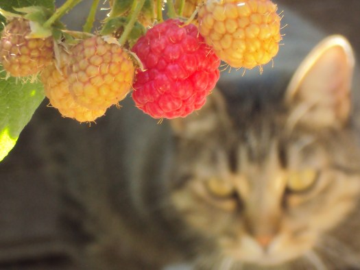 Sweety cat is looking directly at the camera, even though she is out of focus. The raspberries are the star of this image.