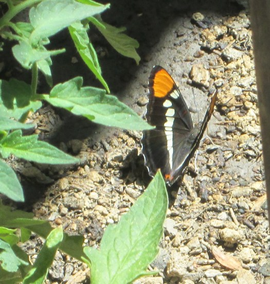 A closeup of the California sister butterfly. The groves in the wings with the contrast orange, white, and black sections is quite fascinating.