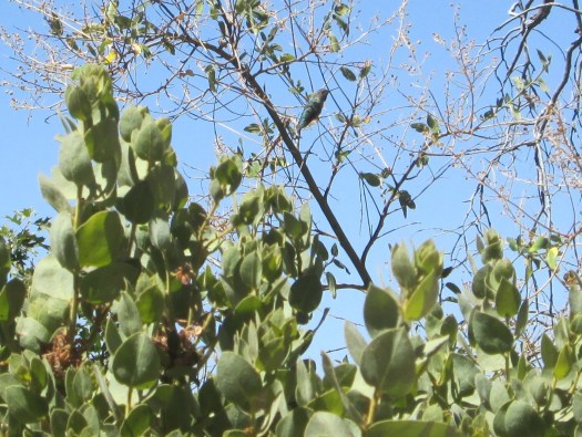 Hummingbird on a manzanita tree.