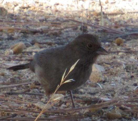 Dark-eye junco bird in the forest.