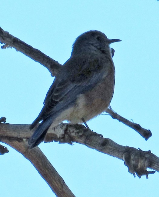 The mountain bluebird in a tree a hundred feet above me. I used to zoom lens to capture this fowl.