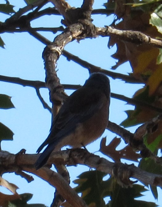 The bluebird is glancing at something to caught his attention.