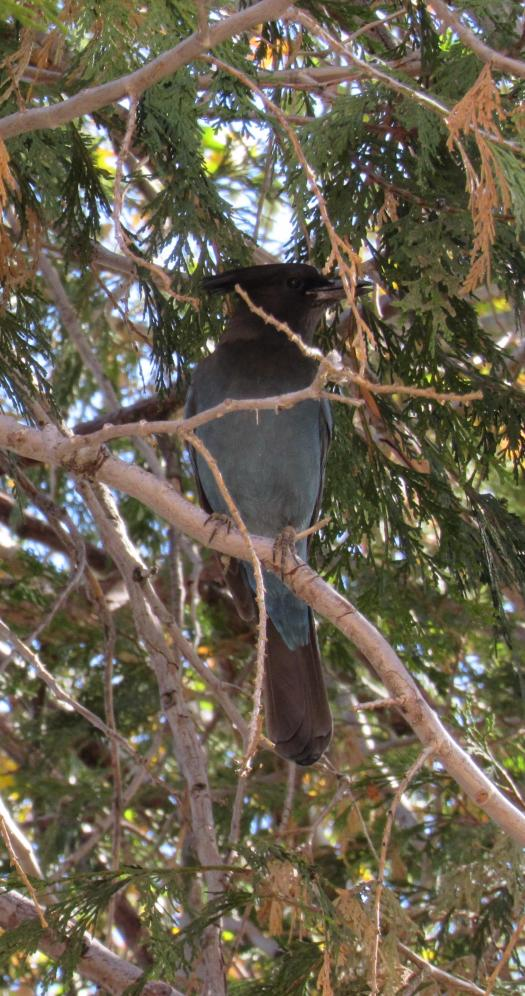 The stellar jay is sitting in a cedar tree.