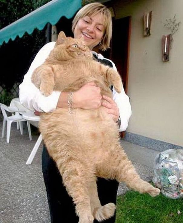Le Chat Le Plus Gros Du Monde : monde, Index, /photos-du-monde/BEST-PHOTO-CAT-funny-ugly-big-little-tiny-CHAT, -moche-laid-mignon-petit-gros/CAT-big-fat-CHAT-gros-enorme
