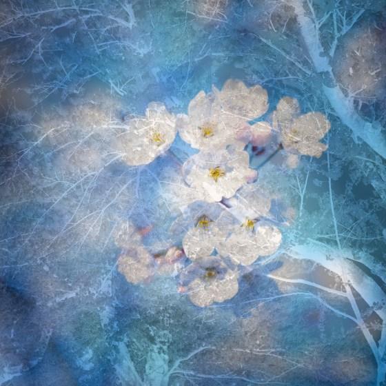 Sakura © Tadayuki Naitoh