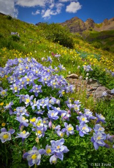 Vertical photograph of a large bunch of colorado blue columbine, with mountain peaks in the background.