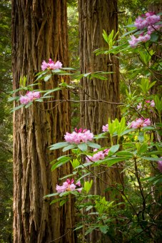Pink Rhododendrons and Huge Redwood Trees grow on the Damnation Trail in Redwoods National Park.