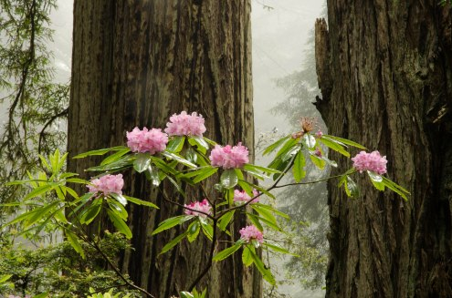 12. Wild Rhododendrons Bloom in the Redwood Forests of Prairie Creek Redwoods State Park