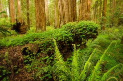 Bright green ferns and clover fill the floor of the Redwood Forest in Stout Grove, Jedediah Smith State Park, California