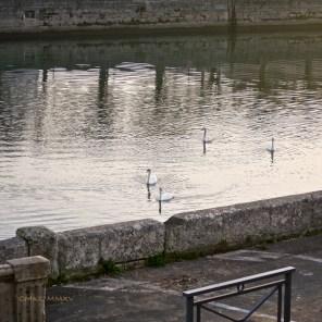 Xmas.Swans.09-1430939