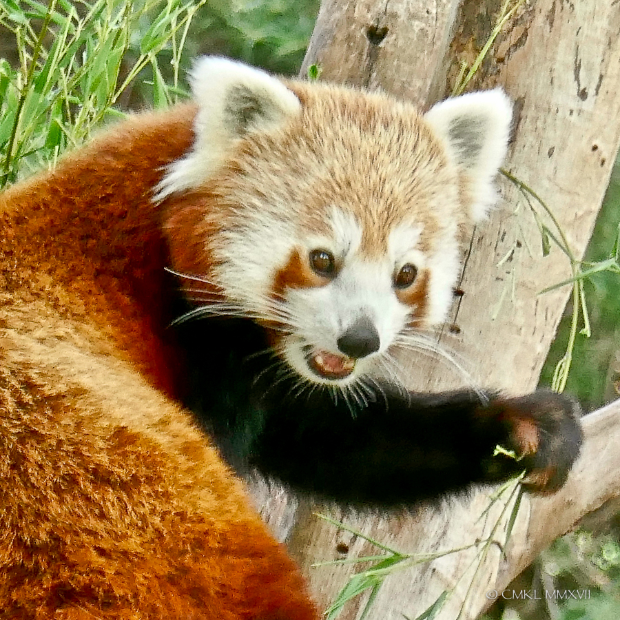 Like the other bamboo lover, the Giant panda, Red pandas have a modified wrist bone which is used as a thumb to better grip the vegetation.