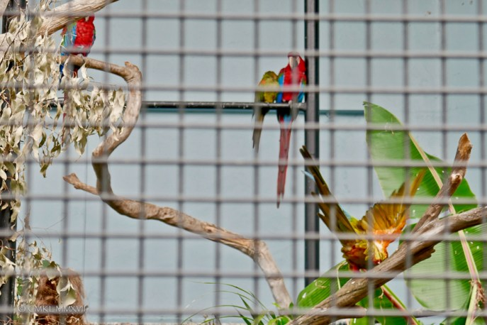 Assorted Macaws in their aviary