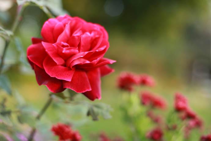 Rote Rosen Bilder  Bilddatenbank  Stockfotos