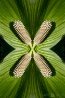 Spadi-X. Photo of spadix and spathe, spathiphyllum, Finca Cantaros, San Vito, Costa Rica.