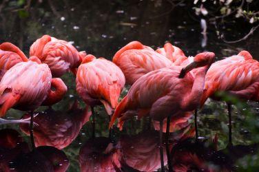 fenicotteri rosa 003
