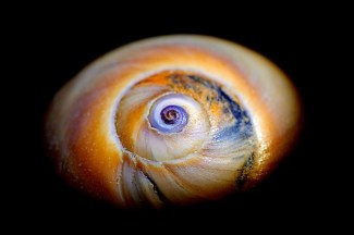 Shark Eye Shell