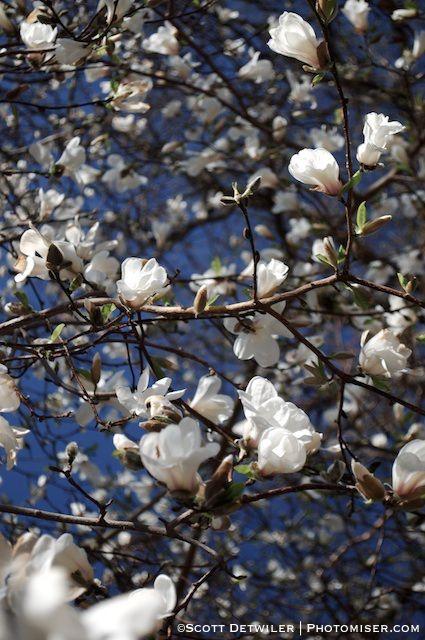 Peak Magnolia Branches