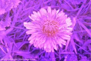 Dandelion in ultraviolet light, as captured in camera with custom white balance set for green grass in infrared