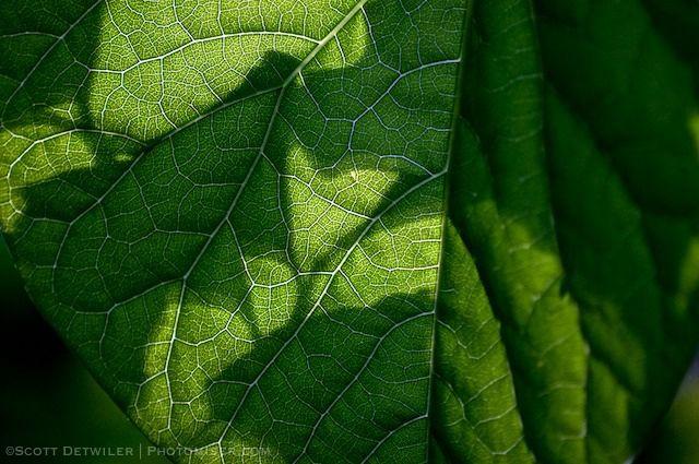 Veined Redbud Leaf