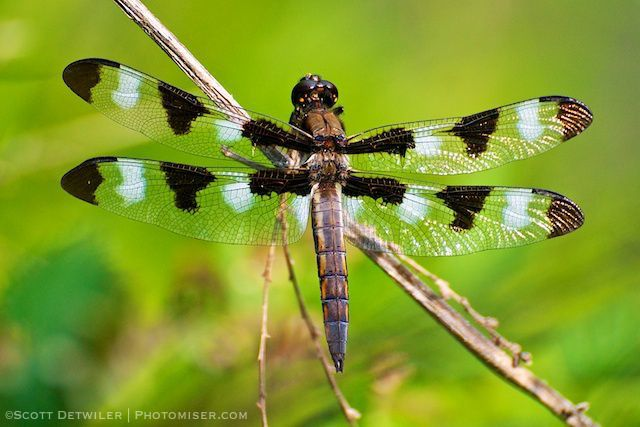 Twelve-spot Dragonfly, Chon-Ji