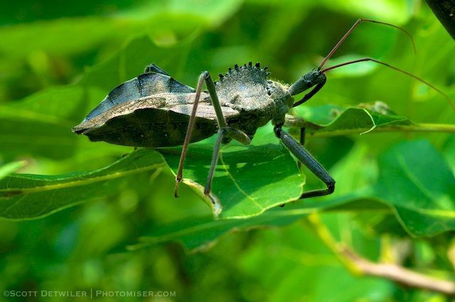 Wheel Bug (Arilus cristatus)