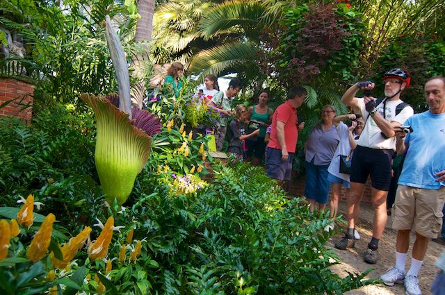 Titan arum and its admirers