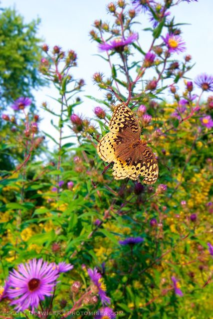 Great Spangled Fritillary on Aster