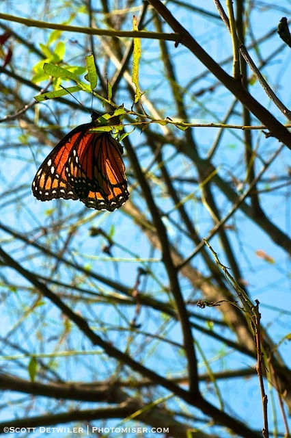 Viceroy Butterfly hangs like a leaf