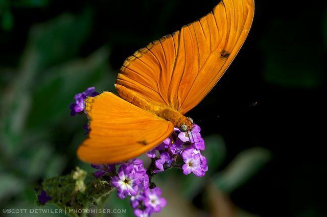Orange Julia (Dryas julia)