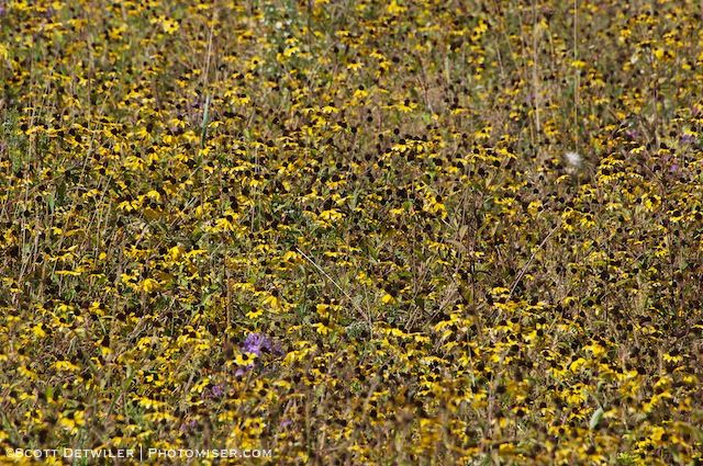 Rudbeckia Field at Flight 93 Memorial