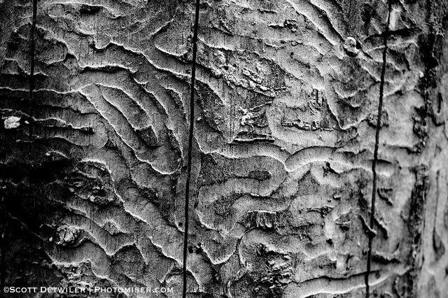Ash Borer Trails