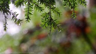 Eastern Hemlocks in the rain