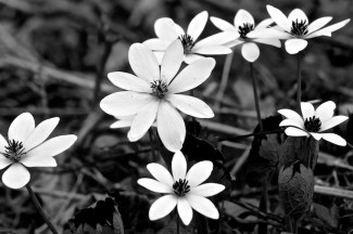 Bloodroot with blue filter