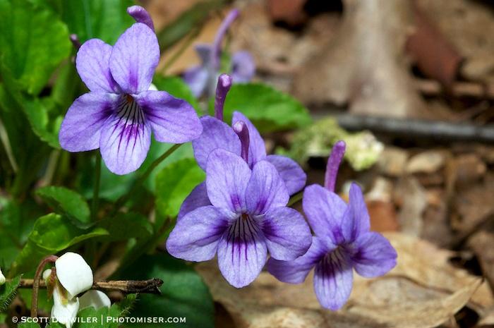 Longspur Violet Trio (Viola rostrata)