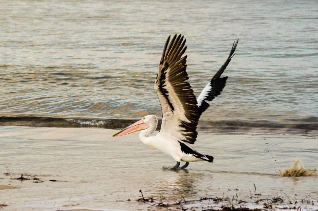 Pelican, Marion Bay, South Australia