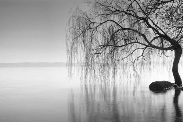 Bolsena willow