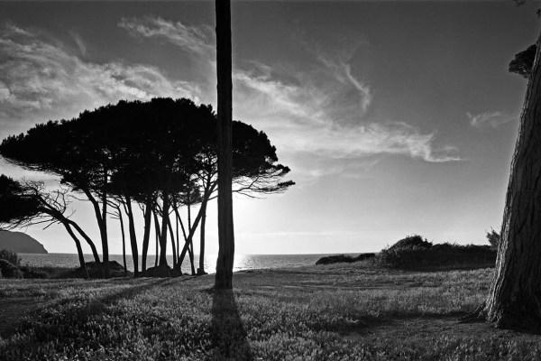 Umbrella Pines