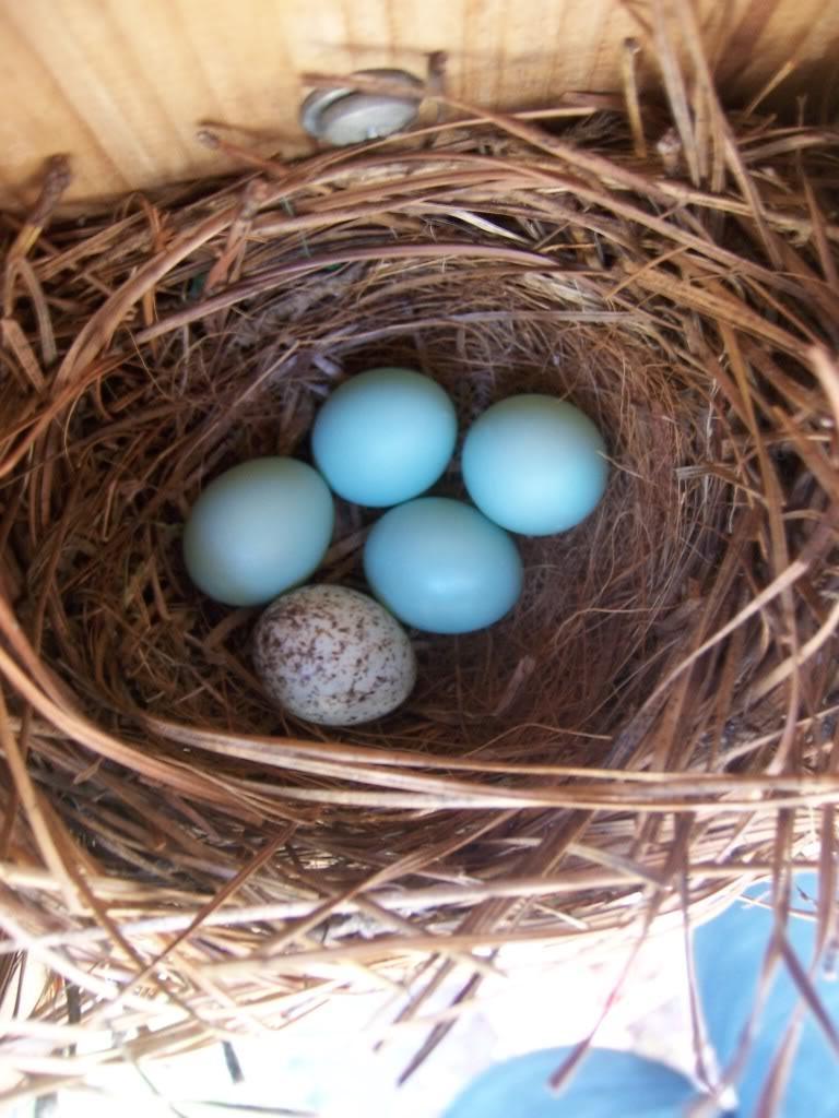 House Sparrow Egg Photo