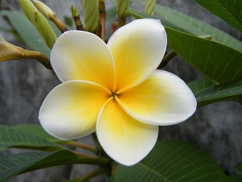 Photos Of Araliya Flowers