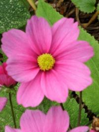 Roja flower photos