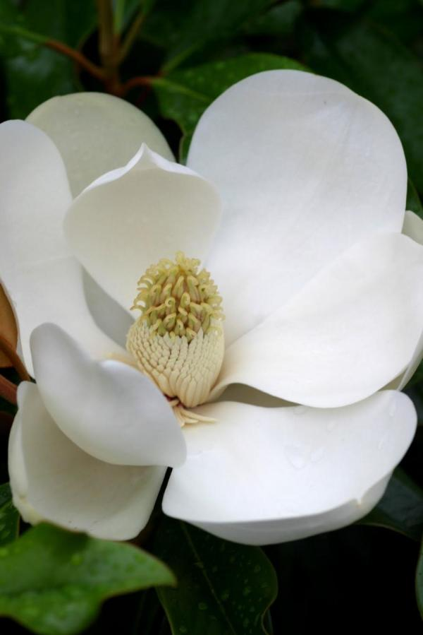 Southern Magnolia Clip Art Year Of Clean Water