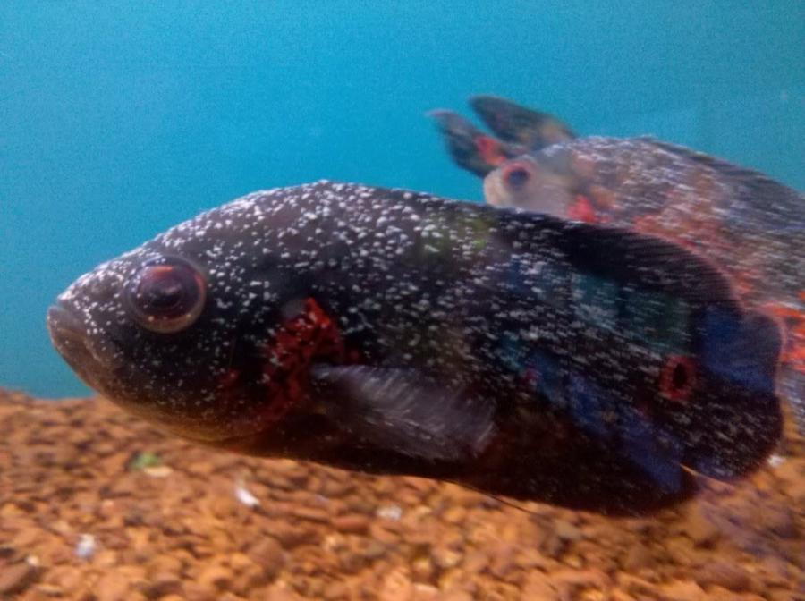 Aquarium fish parasites photos
