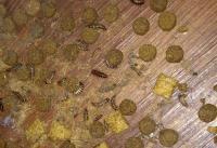 Photos of carpet beetles