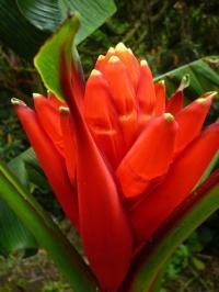 Roja flowers photos