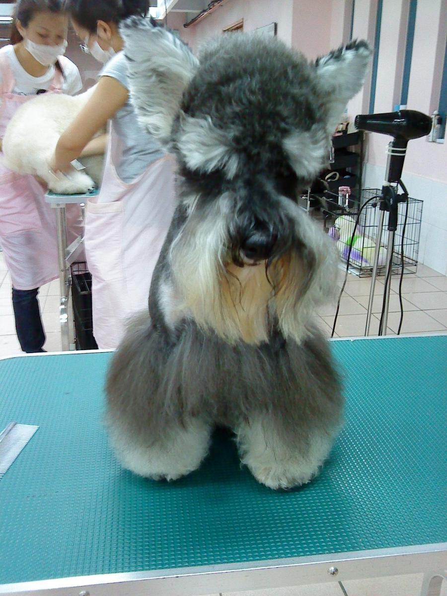 Schnauzer grooming photos