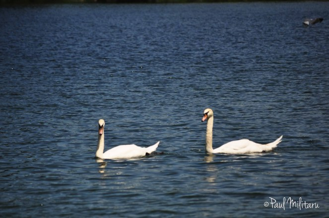 erotic dance of swans 1